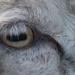 A sheeps eye
