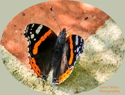 21st Aug 2019 - Red Admiral Butterfly