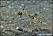 21st Aug 2019 - Ruddy darters