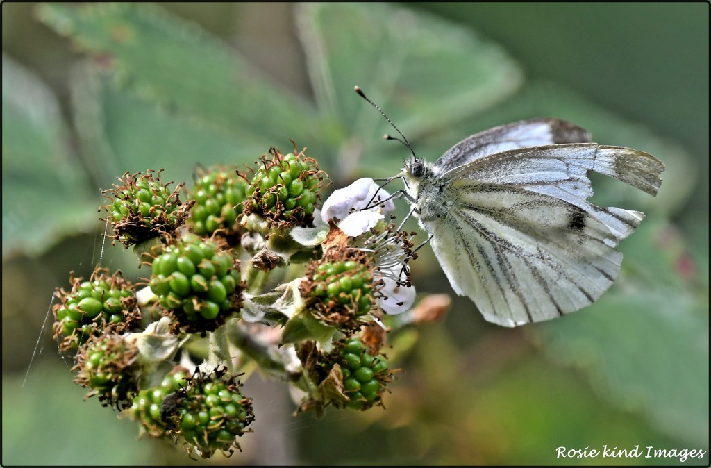DSC_8764 A scruffy green veined white butterfly by rosiekind
