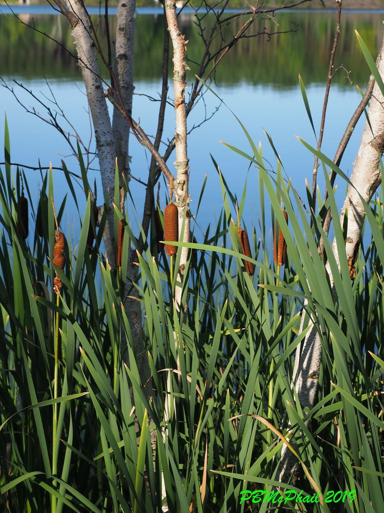 Bulrushes by selkie