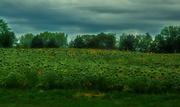21st Aug 2019 -  Field of Sunflowers