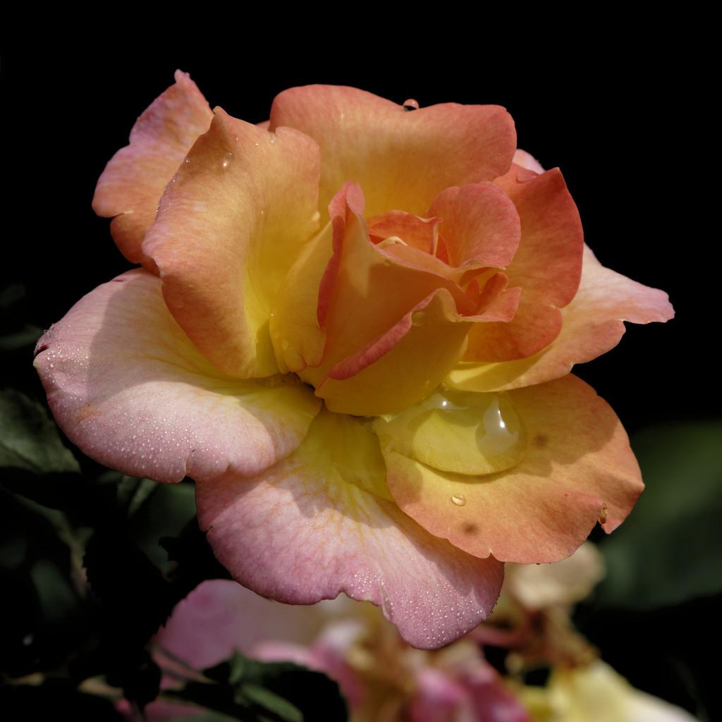 Peachy rose by rminer