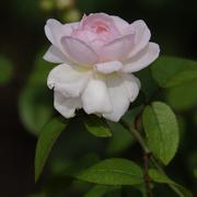 21st Aug 2019 - White rose