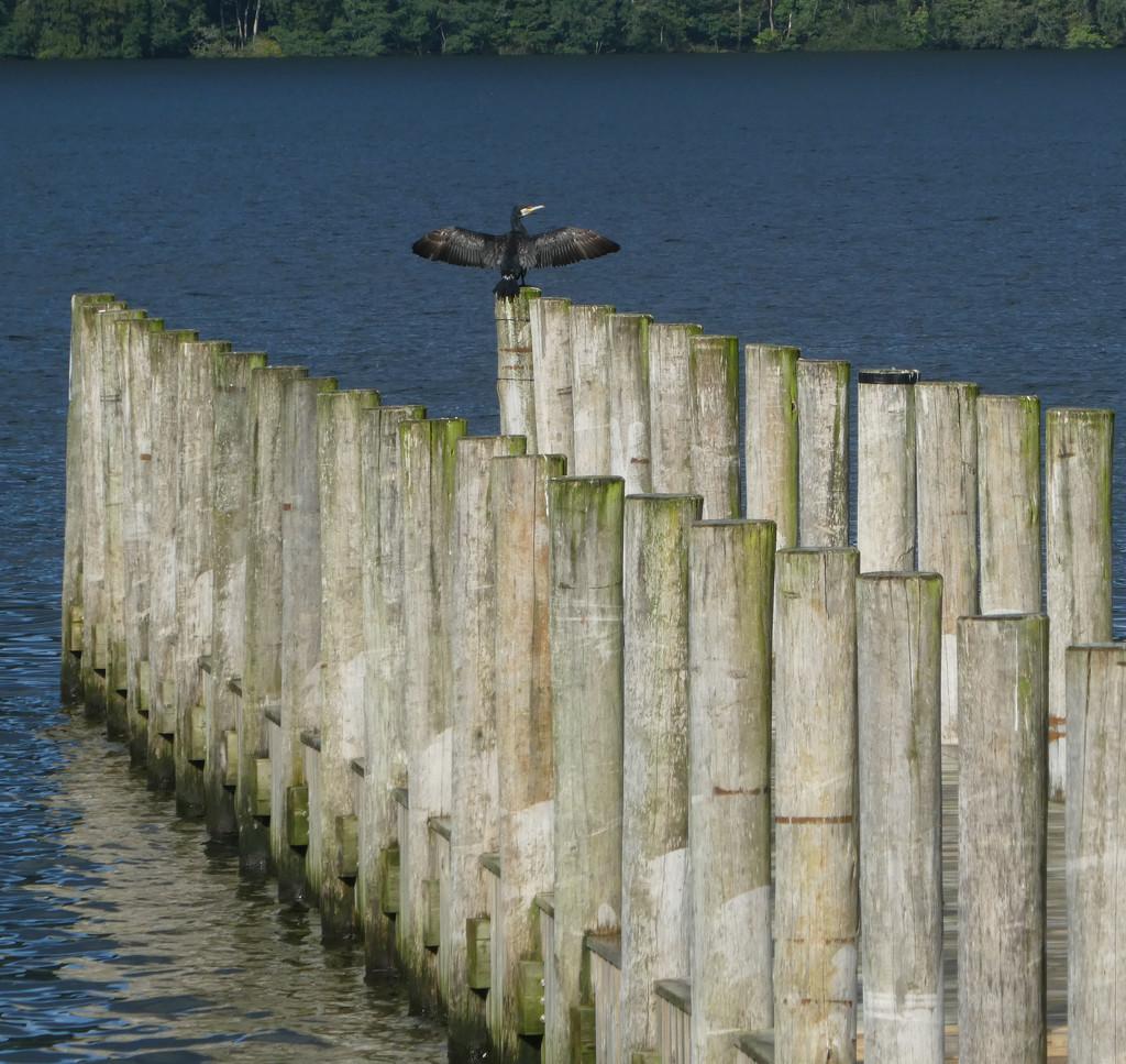 cormorant by anniesue