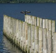 21st Aug 2019 - cormorant