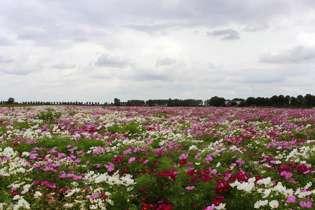 Back to the flowerfields by pyrrhula