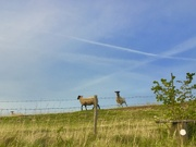 21st Aug 2019 - Sheep on the hill