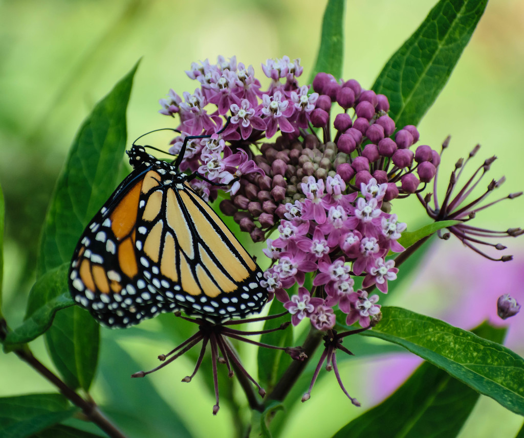 Another Monarch Picture by marylandgirl58