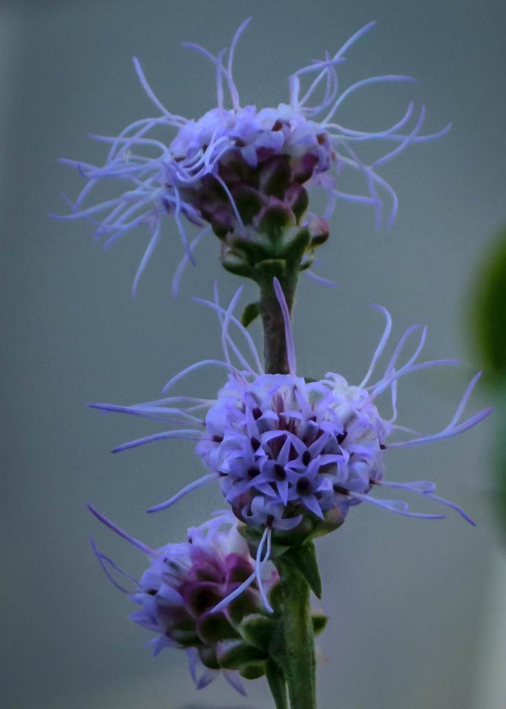 Purple Scraggly Flower by marylandgirl58