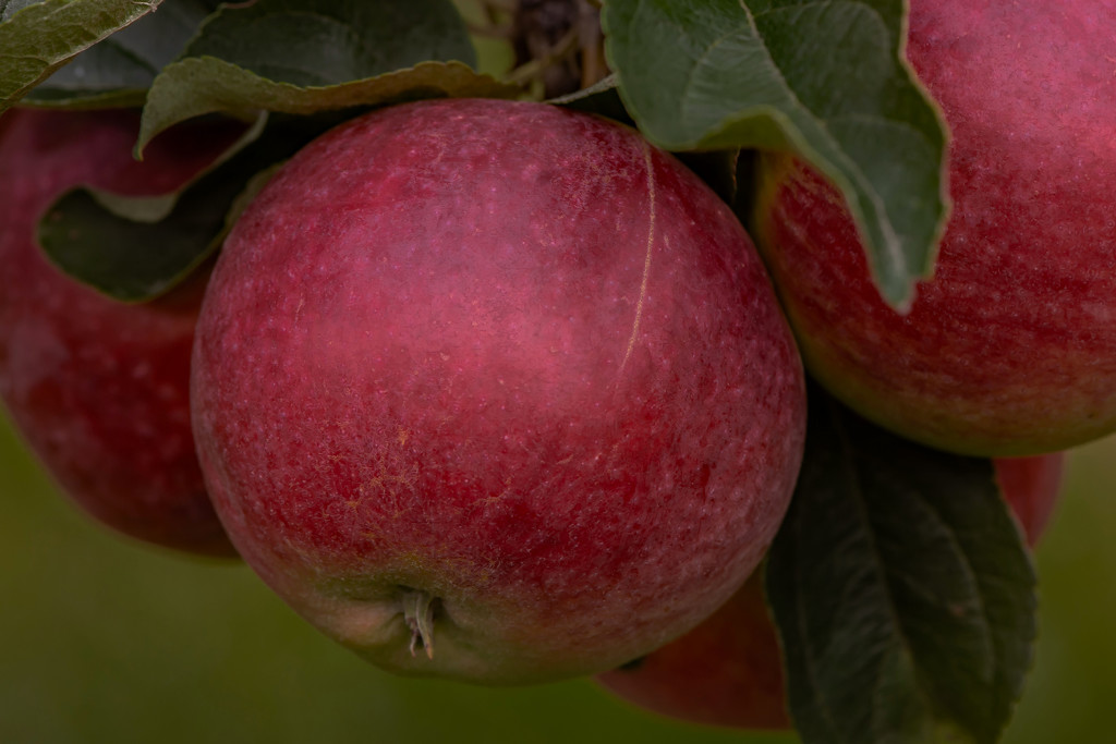More Apple Sauce, Pies, Jelly ...  by farmreporter