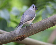 12th Aug 2019 - New Tufted Titmouse