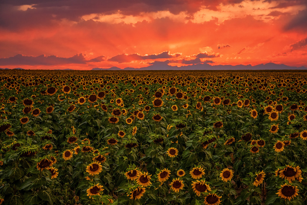 Sunflowers In The Wind by exposure4u