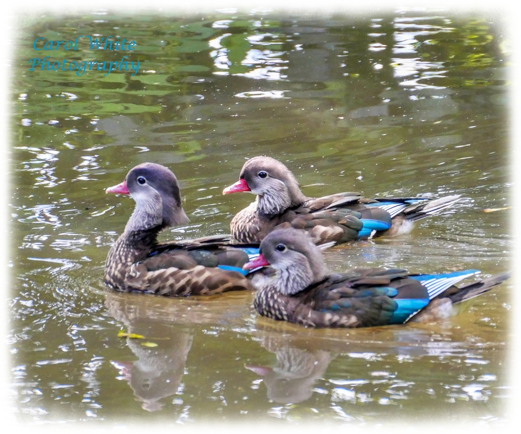 Mandarin Ducks In Eclipse Plumage by carolmw