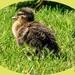 Tiny Mallard Duckling
