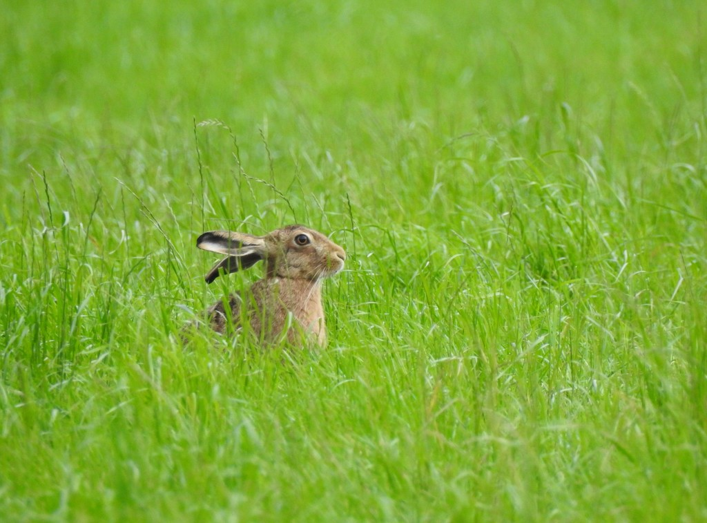 A hare by roachling