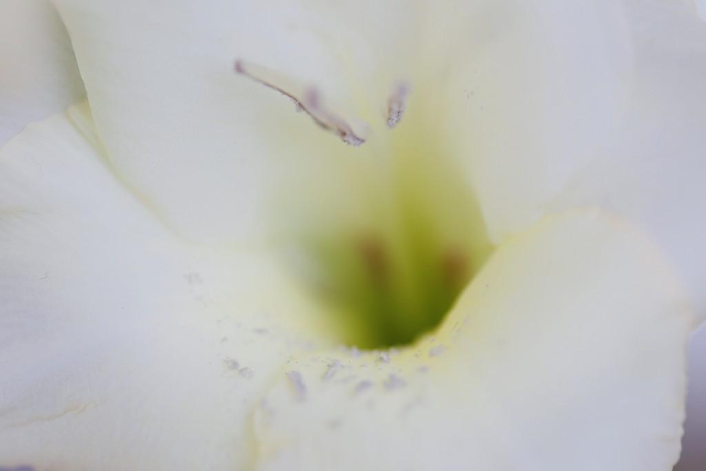 2019 08 22 - Gladioli by pixiemac