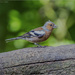 Male Chaffinch by pcoulson