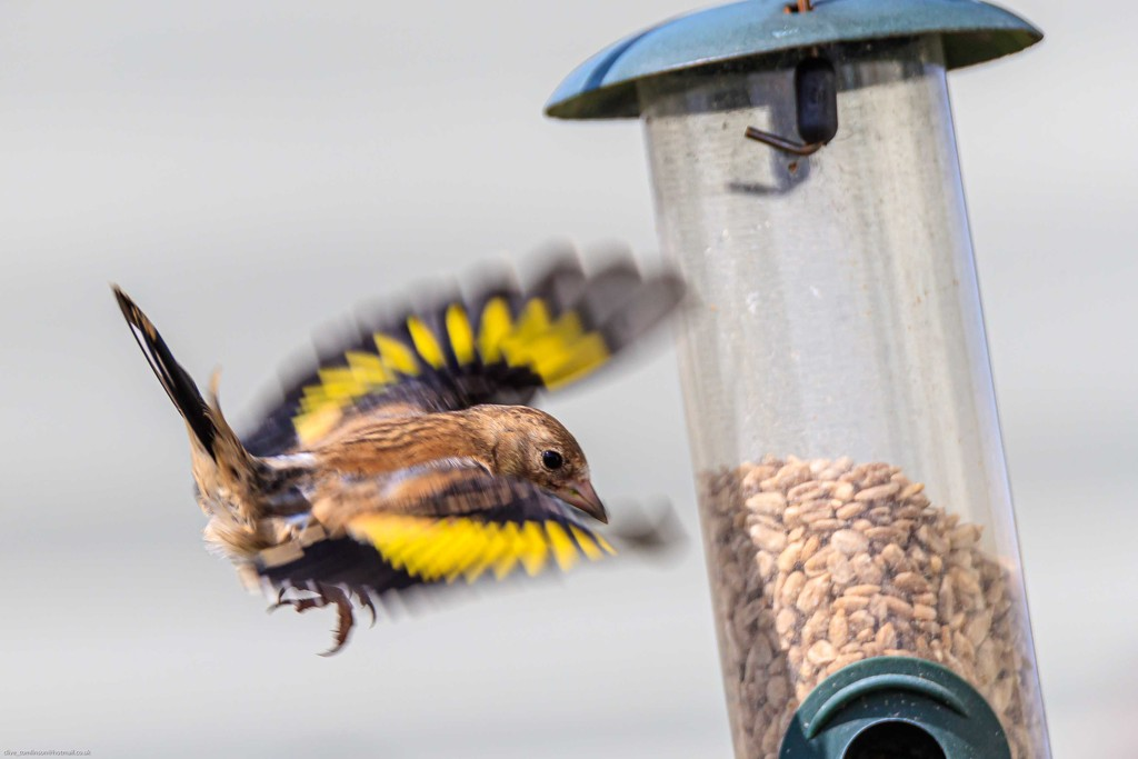 Juvenile Goldfinch by padlock