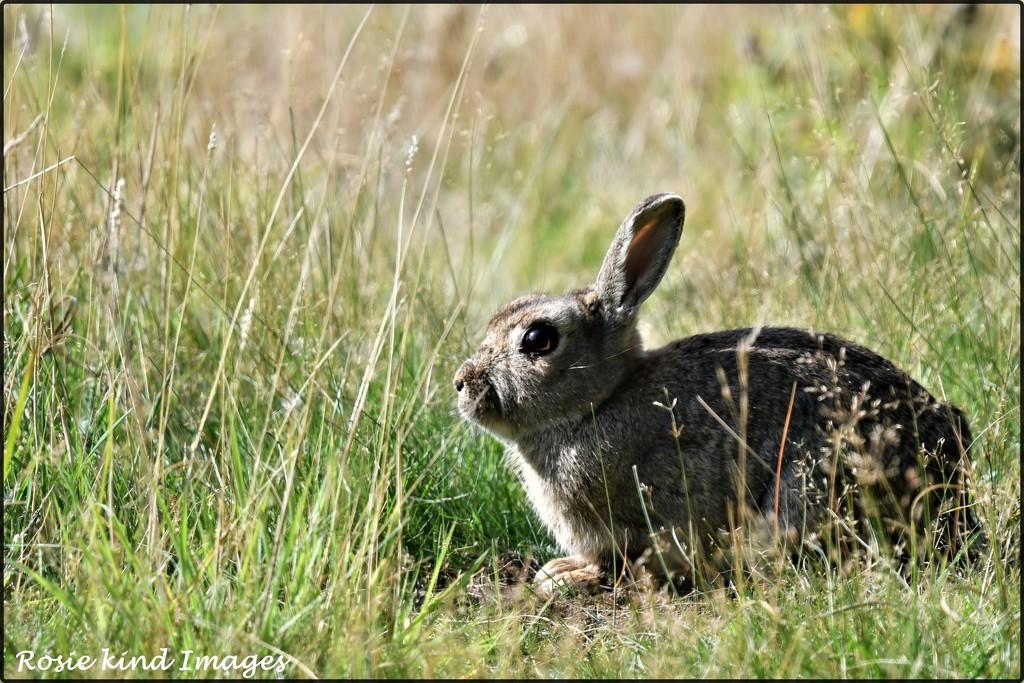 DSC_8818 Bunny by rosiekind