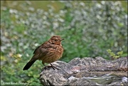 22nd Aug 2019 - RK2_5300 One of our young blackbirds