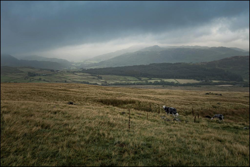 Sheep on Corney Fell by ellida