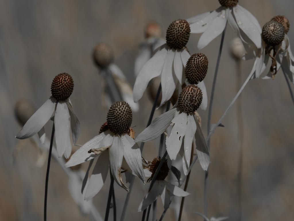 pinnate prairie coneflower by rminer