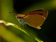 22nd Aug 2019 - orange skipper