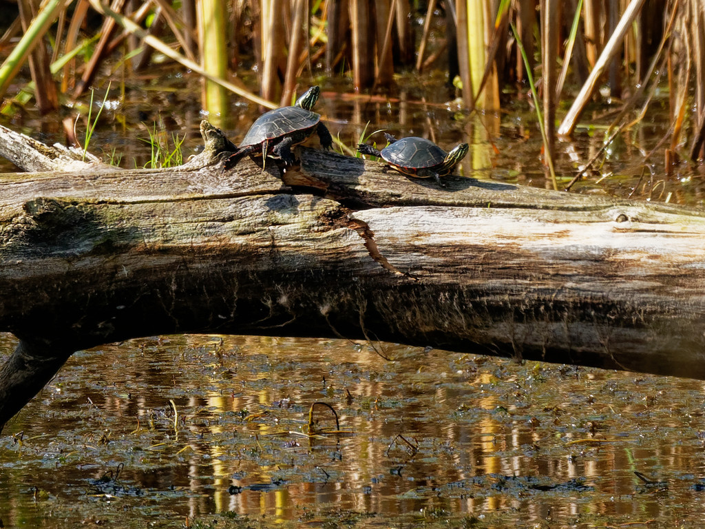 turtles at play by rminer