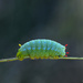 Promethea caterpillar! by fayefaye
