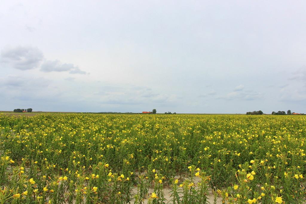 A field with Oenothera `s. ( Primrose) The Dutch name = Teunusbloem by pyrrhula