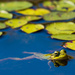 Bullfrog with Reflection by mgmurray