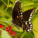 Palamedes Swallowtail Butterfly, I Think! by rickster549