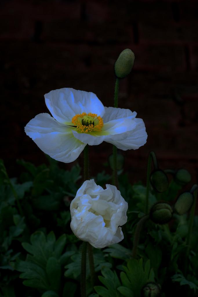 White poppy by maureenpp