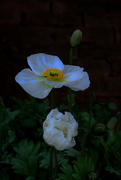 23rd Aug 2019 - White poppy
