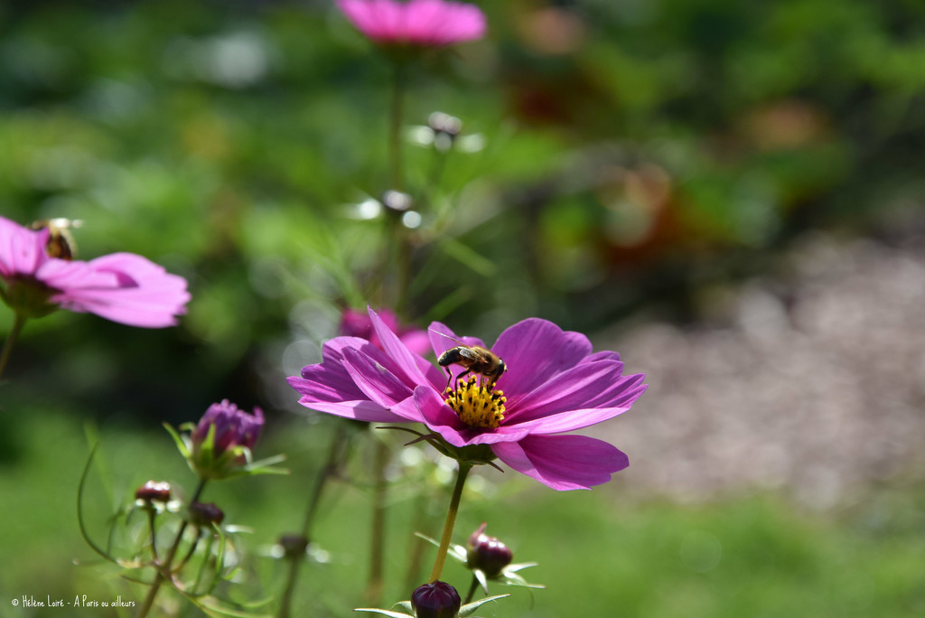 Bee in Cosmos by parisouailleurs