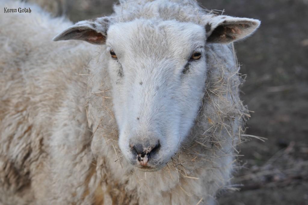 Sheepy by kgolab