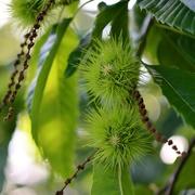 23rd Aug 2019 - Chestnut Tree