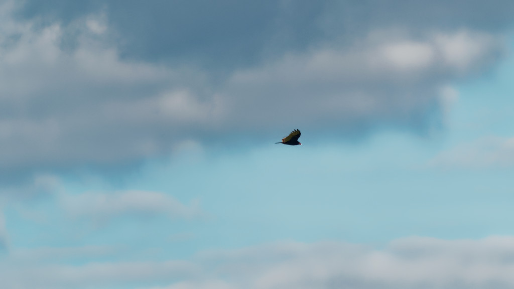 turkey vulture in the sky by rminer