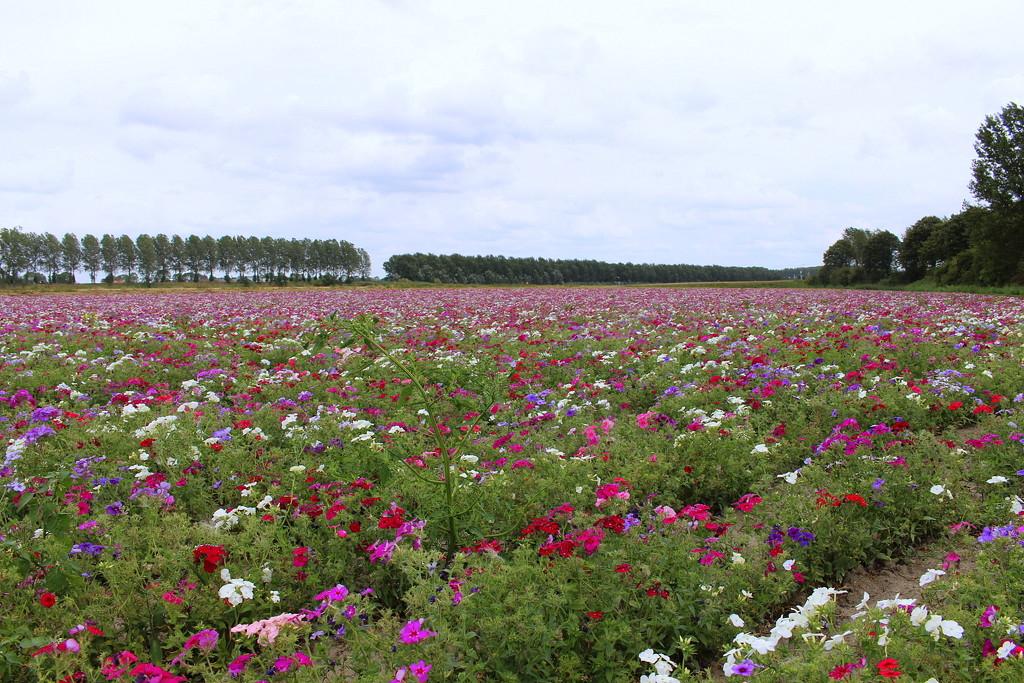 A field with Phlox flowers  by pyrrhula