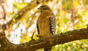 23rd Aug 2019 - Backyard Red Shouldered Hawk, Sounding Off!