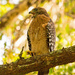Backyard Red Shouldered Hawk, Sounding Off!