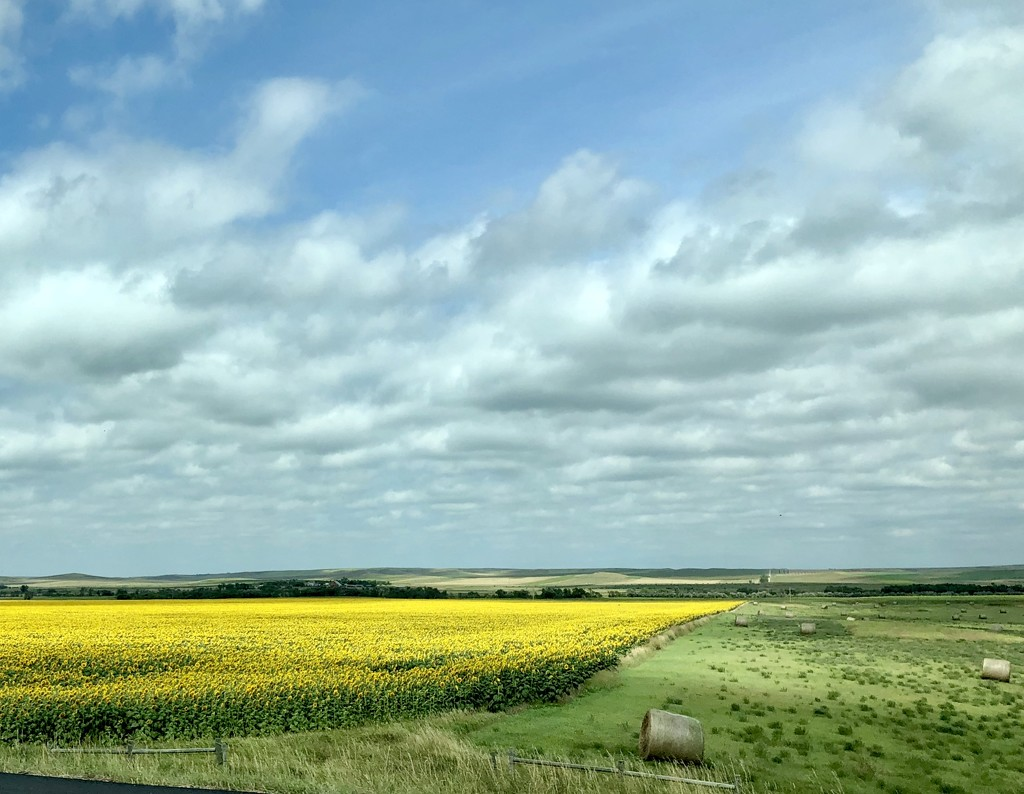 South Dakota Sunflower Farm  by loweygrace