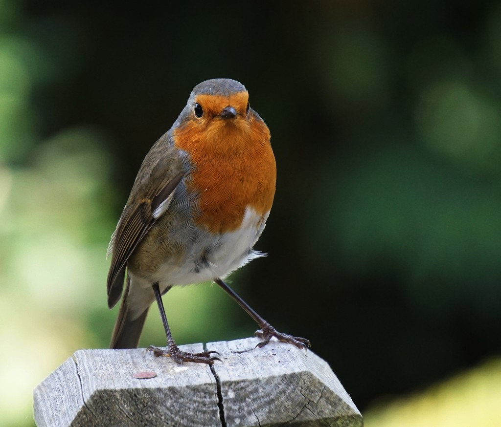 friendly robin by quietpurplehaze