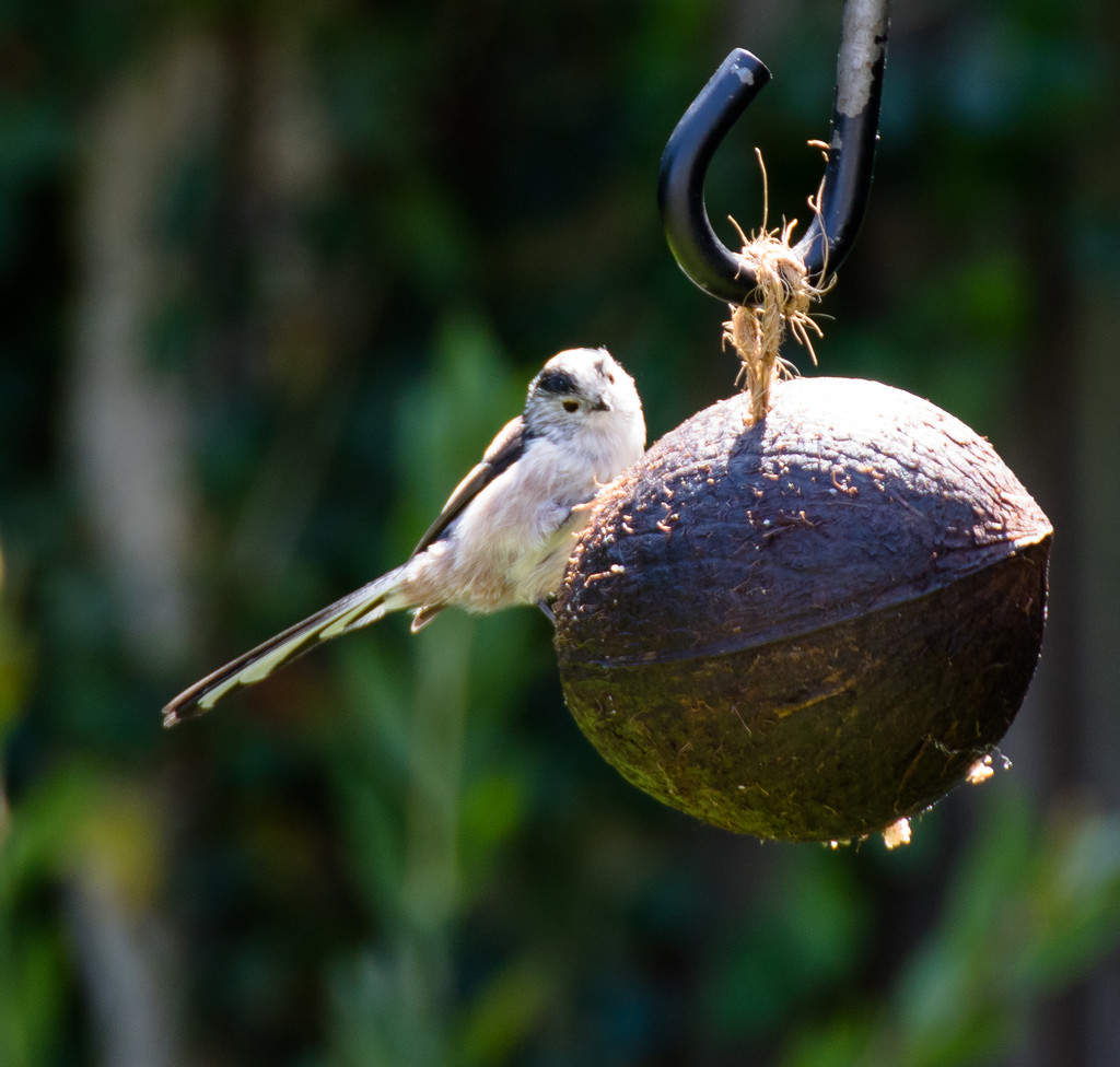 Long-tailed tit by peadar