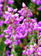24th Aug 2019 - Bell Heather
