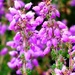Bell Heather by fishers