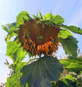 23rd Aug 2019 - Sunflower