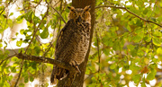 24th Aug 2019 - Full View of the Great Horned Owl!