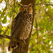 Full View of the Great Horned Owl!